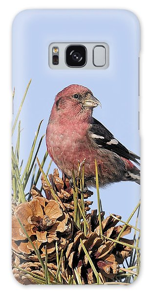 White-winged Crossbill On Pine Galaxy Case by Allan Rube