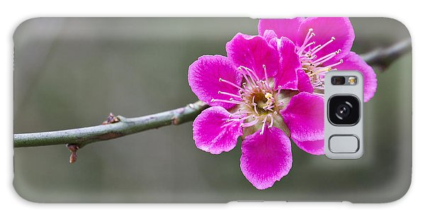 Japanese Flowering Apricot. Galaxy Case