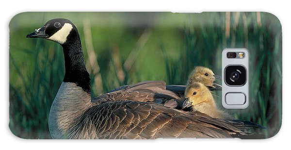 Gosling Galaxy Case - Canada Goose With Goslings by Alan and Sandy Carey and Photo Researchers