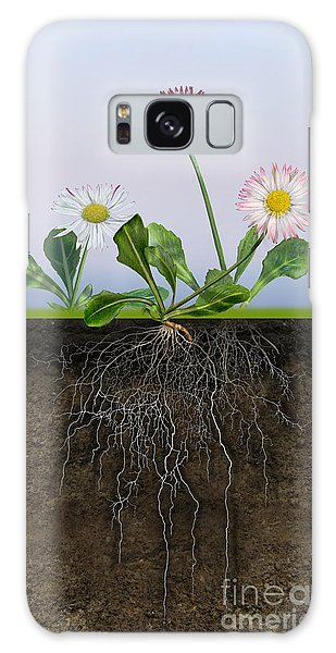 Daisy Bellis Perennis - Root System - Paquerette Vivace - Margar Galaxy Case