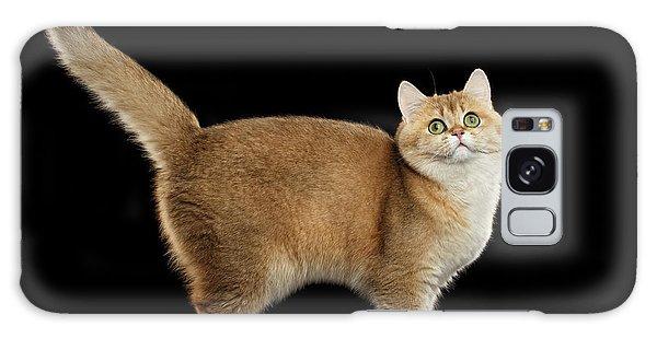 Funny British Cat Golden Color Of Fur Galaxy Case