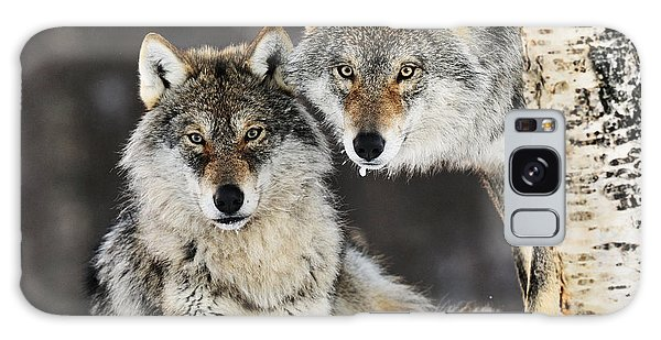 Galaxy Case featuring the photograph Gray Wolf Canis Lupus Pair In The Snow by Jasper Doest