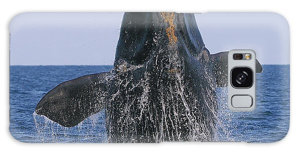 North Atlantic Right Whale Breaching Galaxy Case