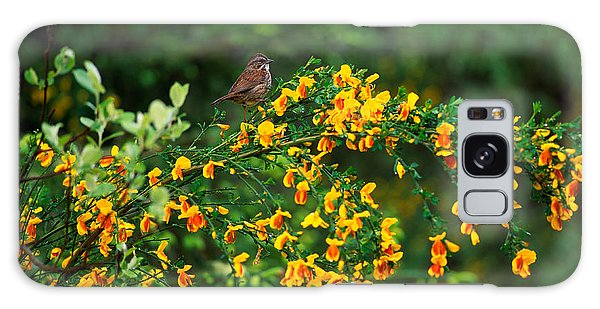 Song Sparrow Bird On Blooming Scotch Galaxy Case by Panoramic Images