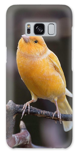 Spanish Timbrado Canary Galaxy Case