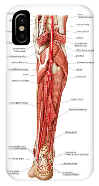 Popliteal Artery iPhone Cases | Fine Art America