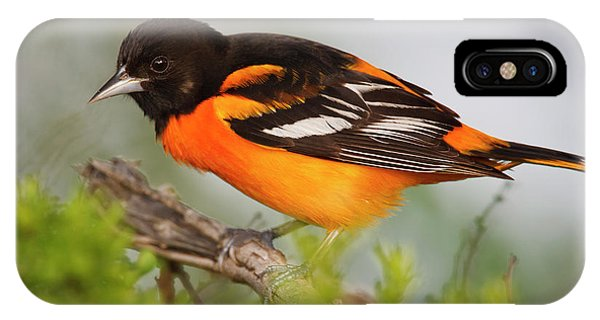 Baltimore Oriole Foraging IPhone Case