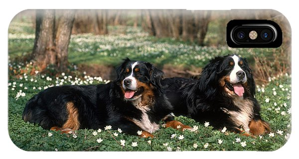 Bernese Mountain Dog iPhone Case - Bernese Mountain Dogs by Hans Reinhard