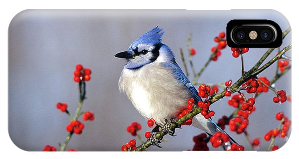 Cold Day iPhone Case - Blue Jay (cyanocitta Cristata by Richard and Susan Day