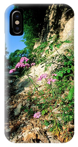 Candytuft (iberis Umbellata) Phone Case by Bruno Petriglia/science Photo Library
