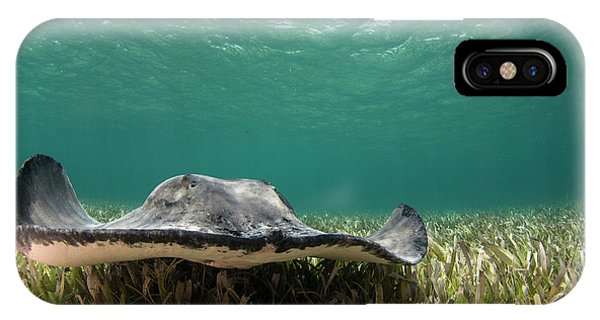 Barrier Reef iPhone Case - Caribbean Whiptail Ray (himantura by Pete Oxford