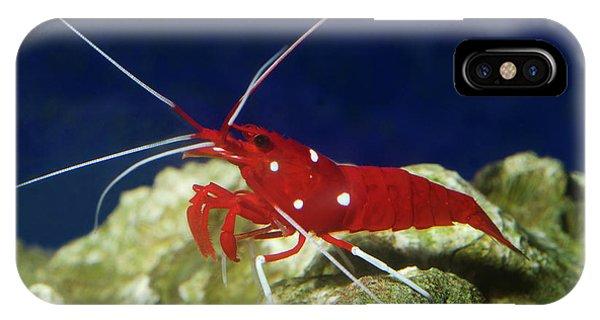 Scarlet iPhone Case - Fire Shrimp Or Scarlet Cleaner Shrimp by Nigel Downer