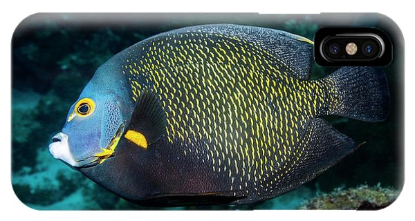 Ichthyology iPhone Case - French Angelfish by Georgette Douwma