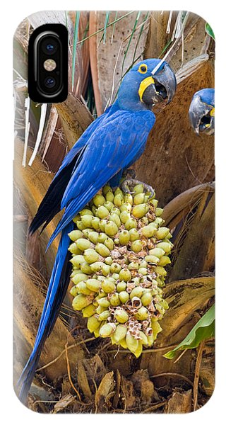 Macaw iPhone Case - Hyacinth Macaws Anodorhynchus by Panoramic Images