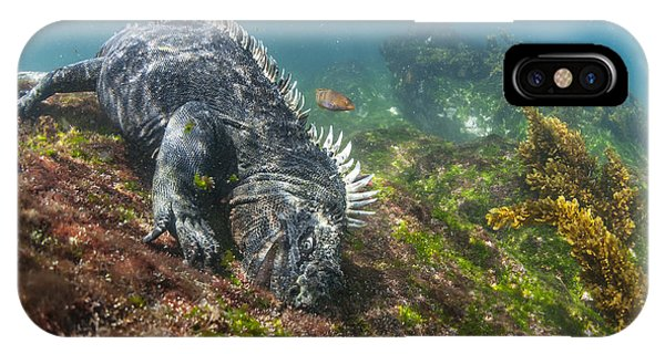 Marine Iguana Feeding On Algae Punta IPhone Case