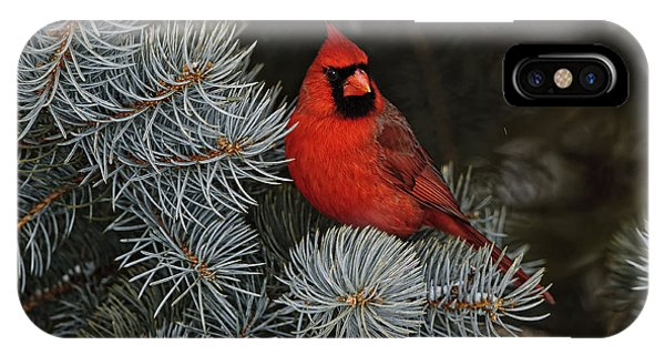 Northern Cardinal In Spruce Tree. IPhone Case