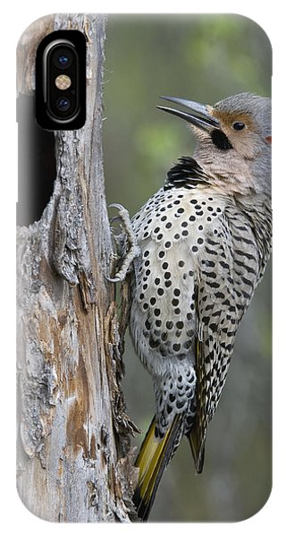 Northern Flicker iPhone Case - Northern Flicker At Nest Cavity Alaska by Michael Quinton
