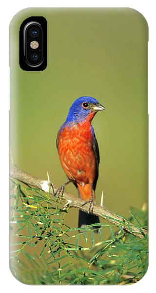 Bunting iPhone Case - Painted Bunting (passerina Ciris by Richard and Susan Day