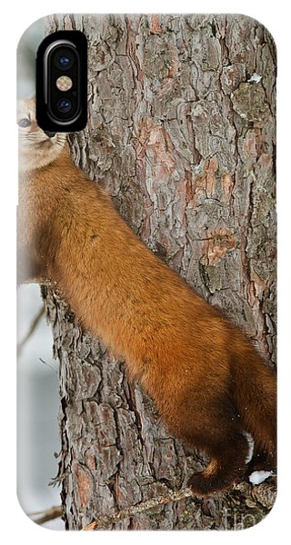 Pine Marten IPhone Case