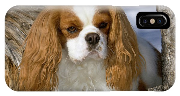 King Charles iPhone Case - Purebred Cavalier King Charles Spaniel by Piperanne Worcester