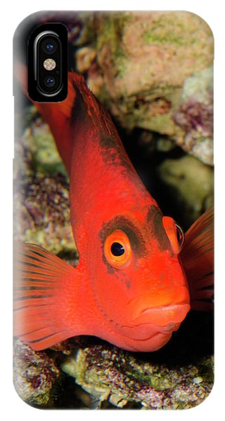 Scarlet Hawkfish Or Flame Hawkfish Phone Case by Nigel Downer