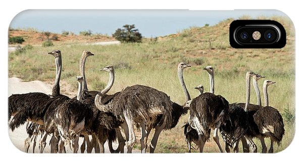 Behaviour iPhone Case - Southern Ostriches Performing Geophagia by Tony Camacho