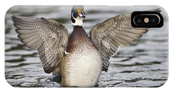Wood Ducks iPhone Case - Wood Duck Aix Sponsa Spreading Wings by Animal Images