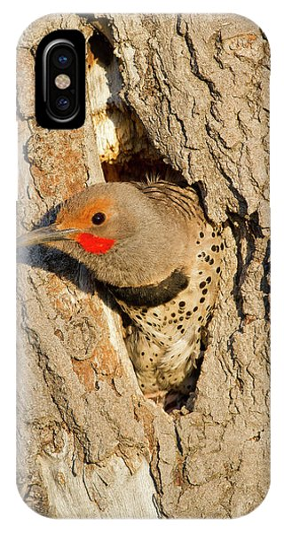 Northern Flicker iPhone Case - Wyoming, Sublette County, Male Northern by Elizabeth Boehm