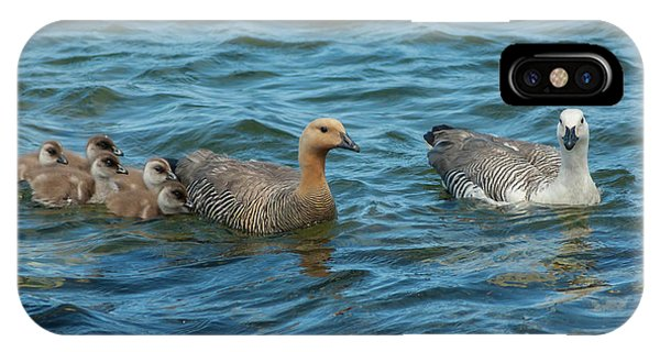 Goslings iPhone Case - Falkland Islands, Bleaker Island by Jaynes Gallery