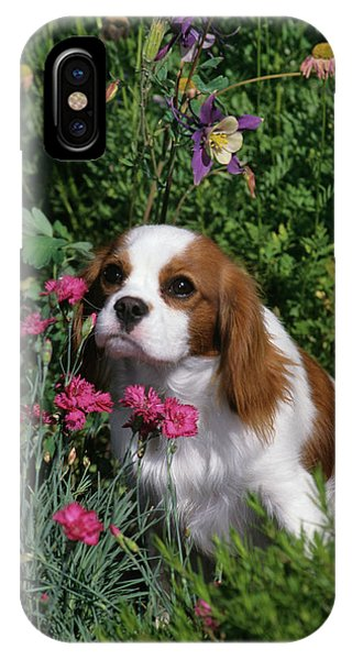 King Charles iPhone Case - 1990s Cavalier King Charles Spaniel Dog by Animal Images