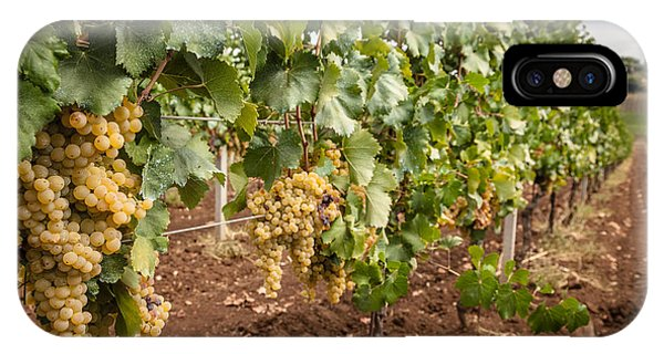 Close Up Of Ripe Wine Grapes On The Vine Ready For Harvesting IPhone Case