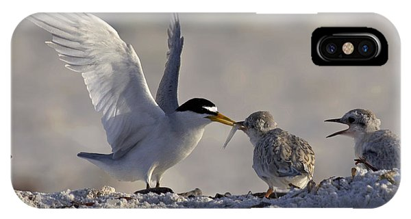 Least Tern Feeding It's Young IPhone Case