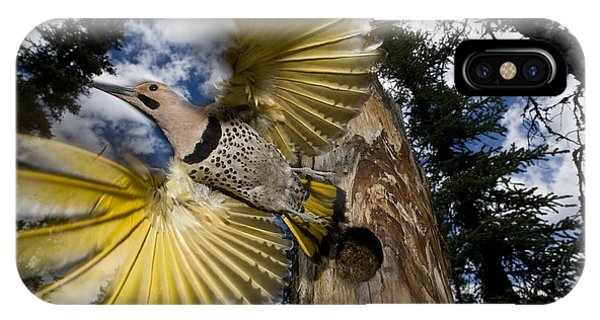 Northern Flicker iPhone Case - Northern Flicker Leaving Nest Cavity by Michael Quinton