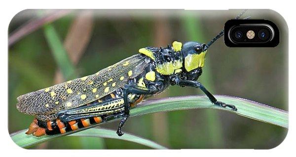 Grasshopper iPhone Case - Northern Spotted Grasshopper by K Jayaram