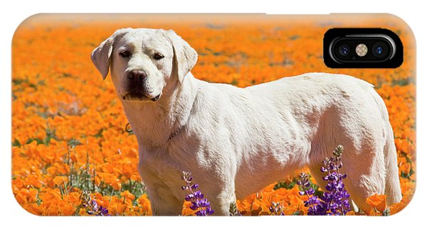 Yellow Lab iPhone Case - Yellow Labrador Retriever Standing by Zandria Muench Beraldo