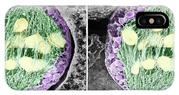 Monocotyledon iPhone Case - Dividing Pollen Cell by Professor T. Naguro