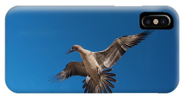 Boobies iPhone Case - Red-footed Booby (sula Sula Websteri by Pete Oxford
