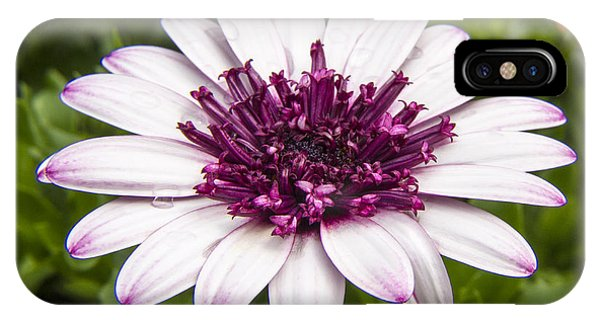 3d Berry White Cape Daisy - Osteospermum  IPhone Case