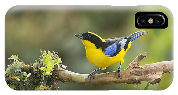 Blue-winged Mountain Tanager IPhone Case