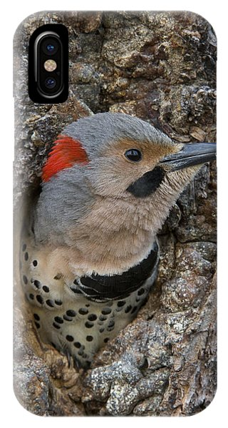 Northern Flicker iPhone Case - Northern Flicker In Nest Cavity Alaska by Michael Quinton