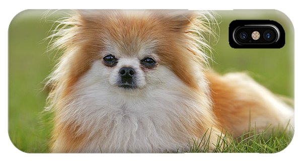 Pomeranian iPhone Case - Pomeranian Dog by Rolf Kopfle