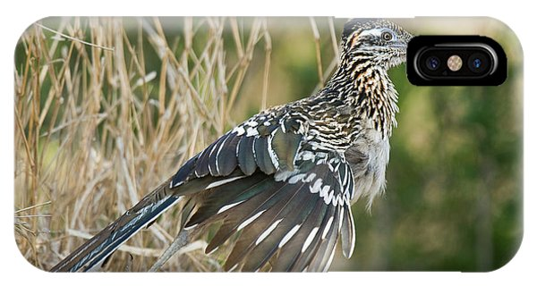 Greater Roadrunner iPhone Case - Usa, Texas, Starr County by Jaynes Gallery