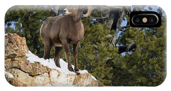 Rocky Mountain Bighorn Sheep iPhone Case - Rocky Mountain Bighorn Sheep Ram by Ken Archer