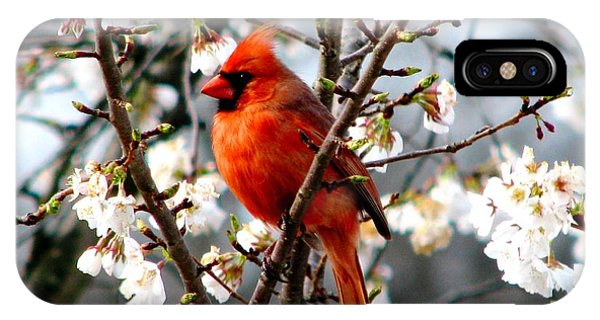 A Cardinal In The Apple Blossoms IPhone Case