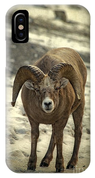 Rocky Mountain Bighorn Sheep iPhone Case - A Close Encounter by Evelina Kremsdorf
