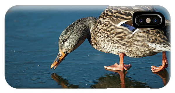 Anas Platyrhynchos iPhone Case - A Duck On Ice The Mallard Is A Dabbling by Richard Wright