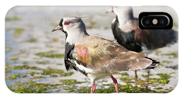 A Flock Of Southern Lapwings IPhone Case