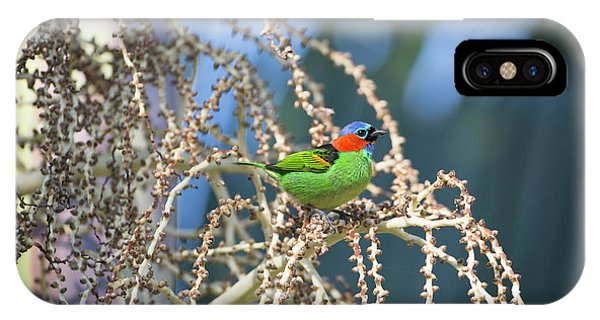 iPhone Case - A Red-necked Tanager, Tangara by Alex Saberi