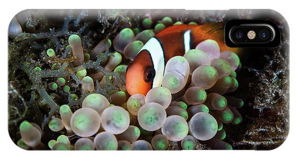 Amphiprion Melanopus iPhone Case - A Young Red And Black Anemonefish by Ethan Daniels
