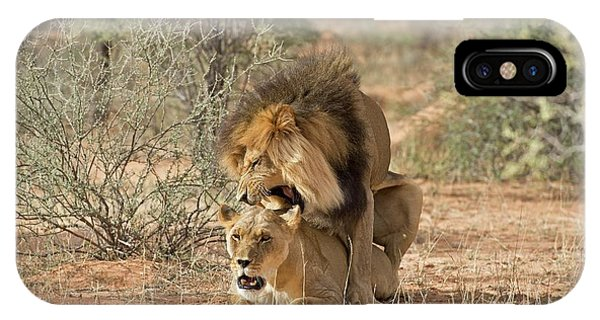 Behaviour iPhone Case - African Lions Mating by Tony Camacho